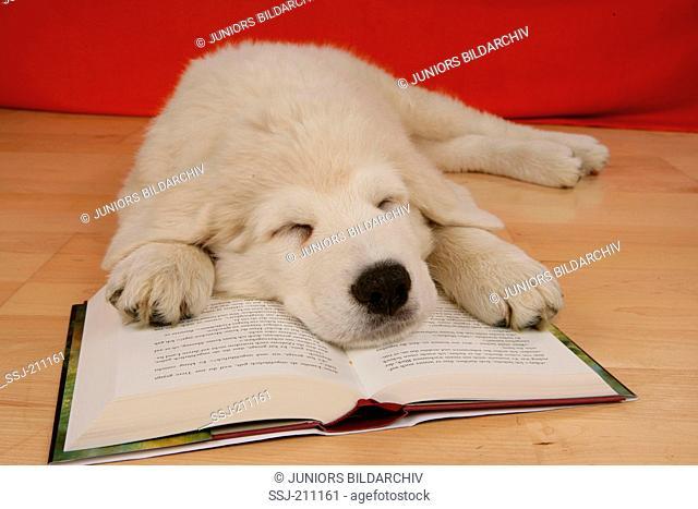Maremma Sheepdog, Maremmano, Puppy sleeping on a book. Germany