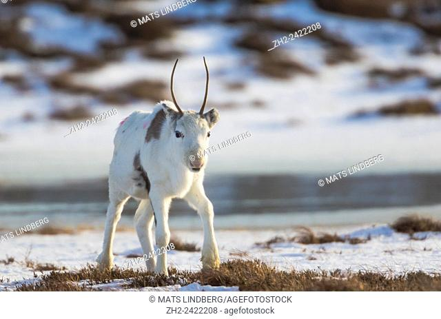 White reindeer calf with small antler looking into camera, Sortland, Norway