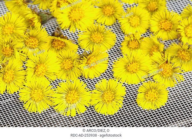 Drying Coltsfoot blossoms Tussilago farfara