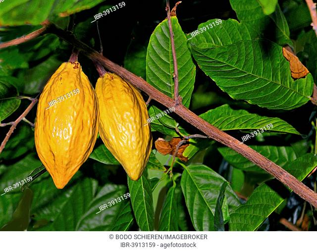 Cocoa Tree or Cacao Tree (Theobroma cacao) with yellow fruits, Botanical Garden, Munich, Bavaria, Germany