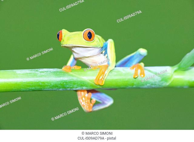 Red-eyed tree frog (Agalychnis Callidryas) on plant stem, Costa Rica