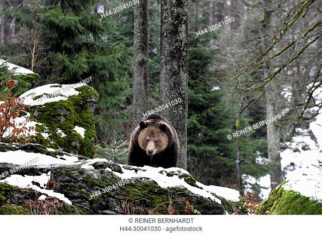 Brown bear, brown bear, bear, bear, local game, Endemically, European brown bears, European bear, fur, master Sneaking, predator, predators, animal