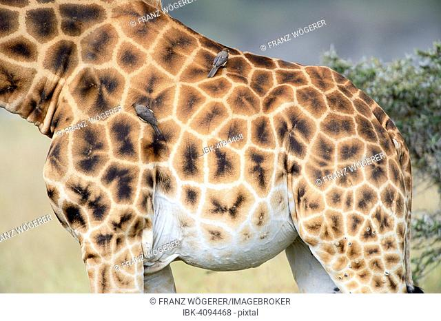 Rothschild's Giraffe (Giraffa camelopardalis rothschildi), detail view of the coat pattern, Oxpeckers (Buphagus) perched on its back, Lake Nakuru National Park
