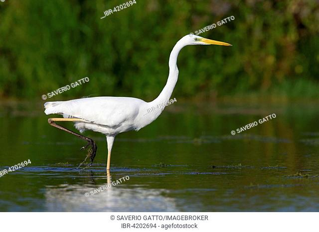 Western Great Egret (Ardea alba), walking in the water, Campania, Italy