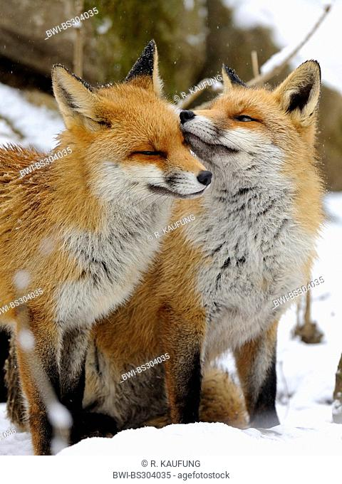 red fox (Vulpes vulpes), two foxes standing side by side in the snow caressing each other, Germany