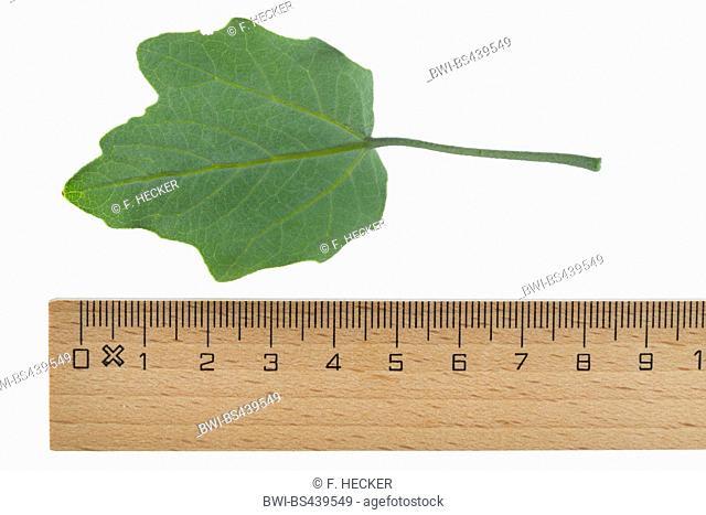 white poplar, silver-leaved poplar, abele (Populus alba), poplar leaf, underside, cutout