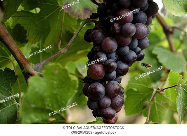 Callet grapes, viña des pou de Sa Carrera (vineyards), Celler Mesquida-Mora, Porreres, Mallorca, Balearic islands, Spain