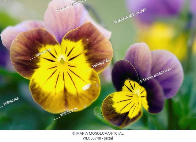 Two Pansy Flowers. Viola x wittrockiana. April 2008. Maryland, USA