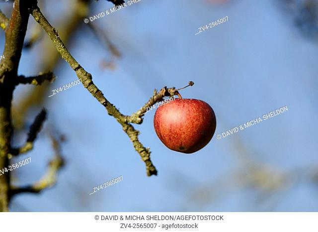 Close-up of a red apple hanging on a tree in autumn
