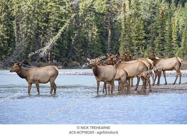 Cervus canadensis nelsoni, rocky mountain elk, rut, Alberta, Canada, cows in river