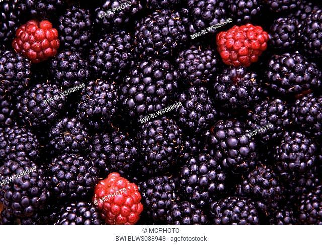 shrubby blackberry Rubus fruticosus, ripe and immature fruits