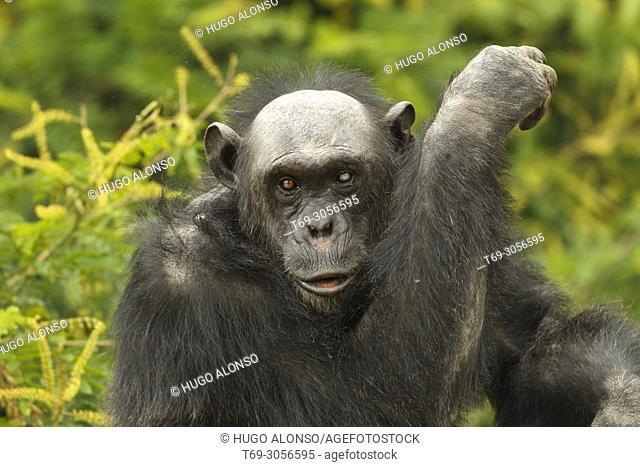 Common chimpanzee portrait. Pan troglodytes. Kenia. Africa