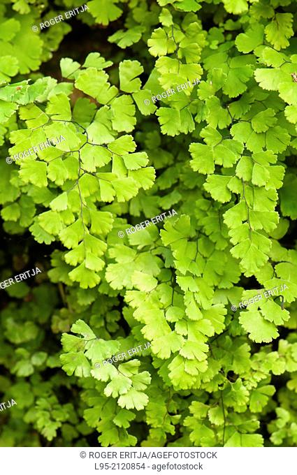 Southern Maidenhair Adiantum capillus-veneris is a Fern species commonly found in springs and clearwater creeks, Spain