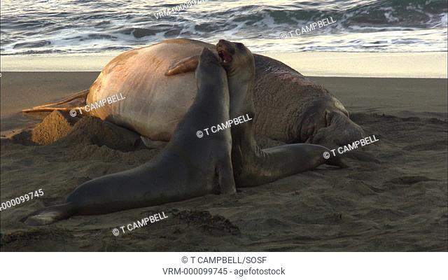 Northern elephant seal bull Mirounga leonina, juveniles fight in front of massive bull. San Simeon, California