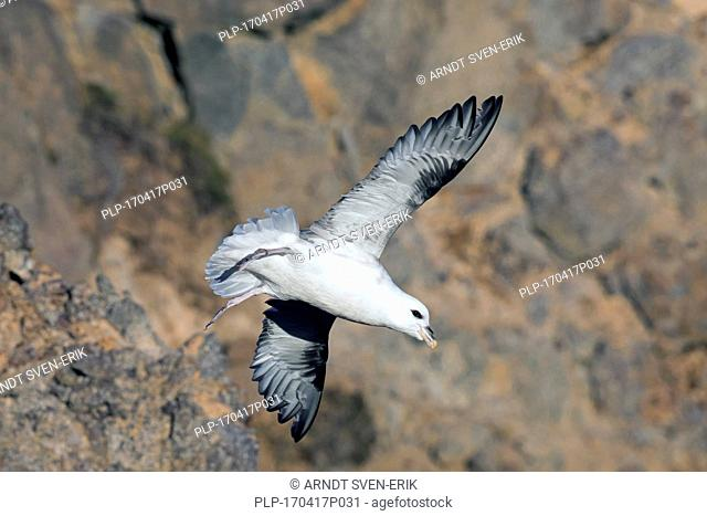 Northern fulmar / Arctic fulmar (Fulmarus glacialis) diving from cliff face