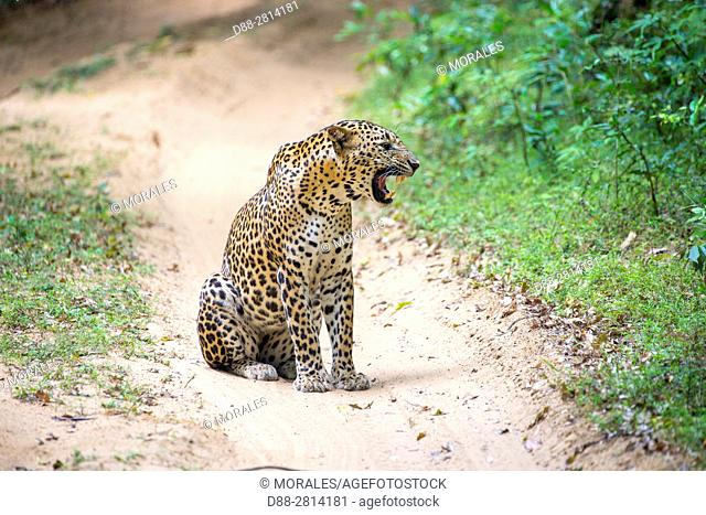 Sri Lanka, Northwest Coast of Sri Lanka, Wilpattu national patk, Sri Lankan Leopard Panthera pardus kotiya), resting