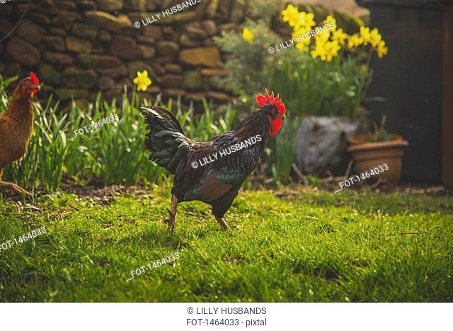 Rooster and hen on grassy field