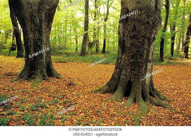 Temperate forest with autumn foliages, 2007, Bonn, Germany