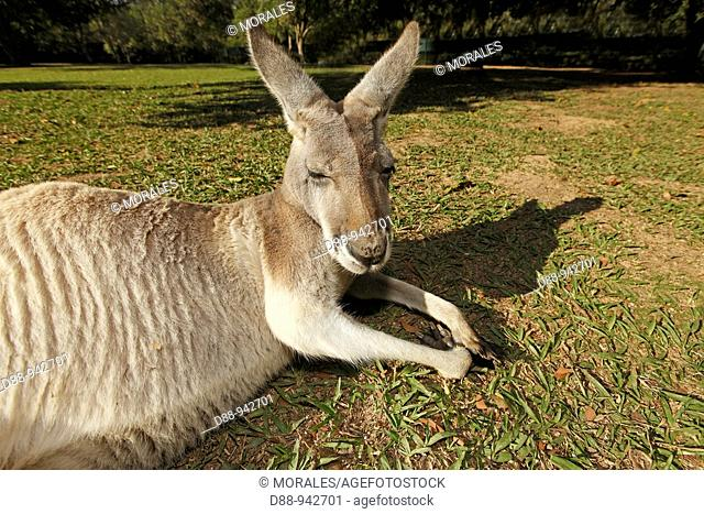 Grey Kangaroo (Macropus giganteus), Queensland, Australia