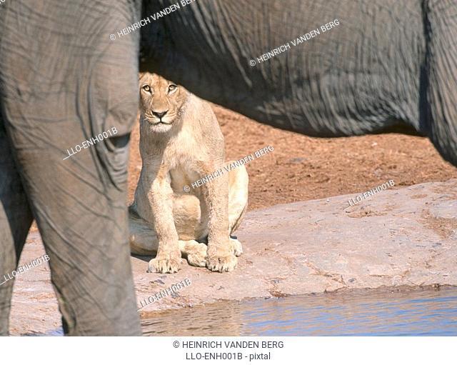 Lion Panthera leo at Waterhole,Framed by Elephant  Tala Private Reserve, Kwazulu Natal Province, South Africa