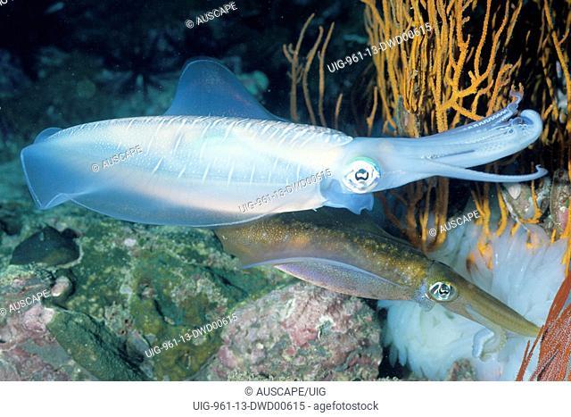 Bigfin reef squid, Andaman Sea, Myanmar