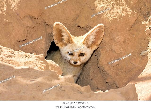 Fennec Fox (Vulpes zerda) emerging from burrow, Libya
