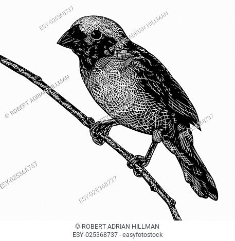 EPS8 editable vector sketch of a songbird in scratchboard style