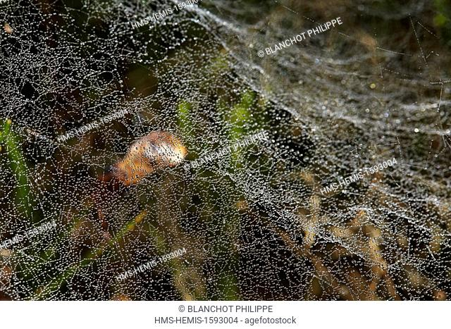 France, Araneae, Linyphiidae, Common hammock-weaver or European hammock spider (Linyphia triangularis), close-up of sheetweb with dewdrops