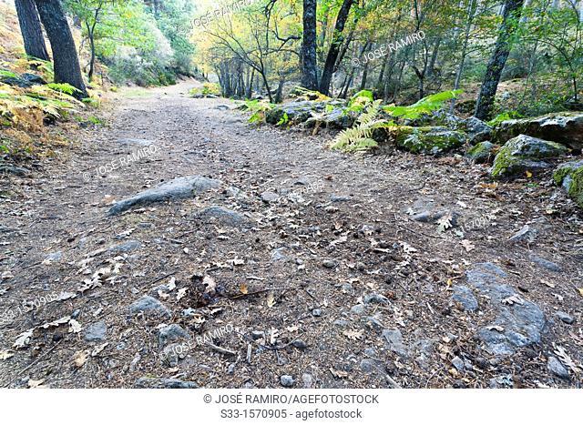 Road in the birchwood in the Sierra de Guadarrama  Canencia  Madrid  Spain