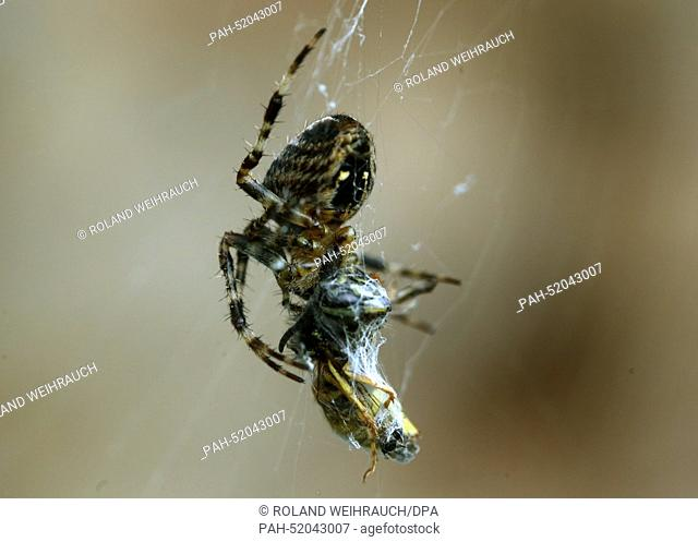 A garden spider has caught a wasp in its net in Moers, Germany, 19 September 2014. The garden spider injects poison into its victim which disables the prey and...