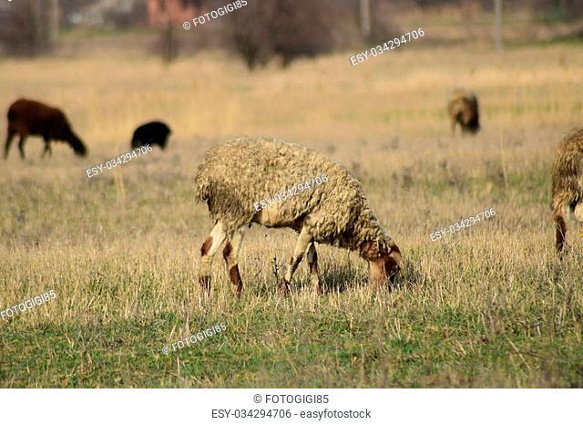 Sheep in the pasture. Grazing sheep herd in the spring field near the village. Sheep of different breeds