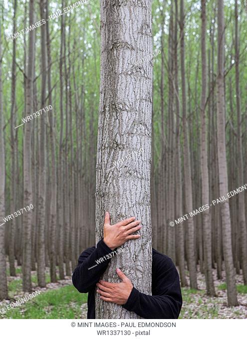 A poplar tree nursery plantation in Oregon, USA. A man hugging a tree