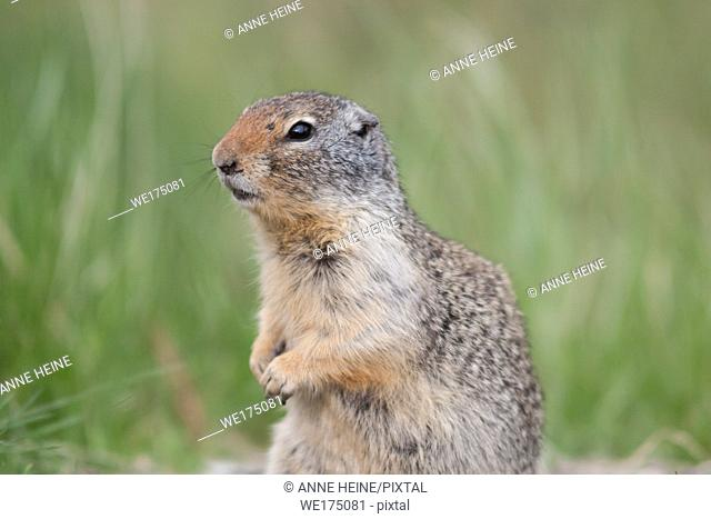 Ground squirrel watching out. Alberta, Canada