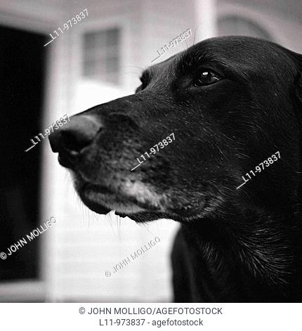 Black labrador retriever in close-up