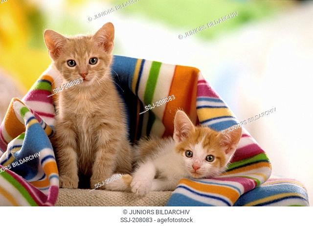 Domestic cat. Pair of kittens under a multicolored blanket. Studio picture. Germany