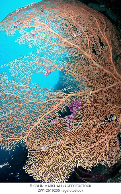 Gorgonian fan (Subergorgia mollis), Gorgonian Passage dive site, Wayil, Fiabacet Island, Raja Ampat (4 Kings) area, West Papua, Indonesia