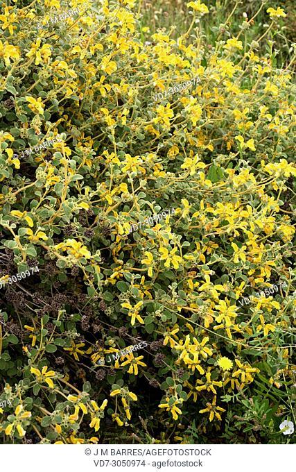 Small Jerusalem sage (Phlomis lanata) is an evergreen shrub native to Crete