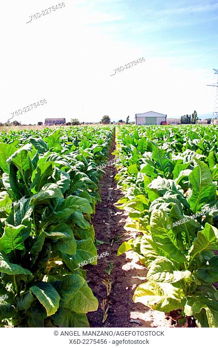 Tobacco plants growing in fertile La Vera region, Caceres, Extremadura