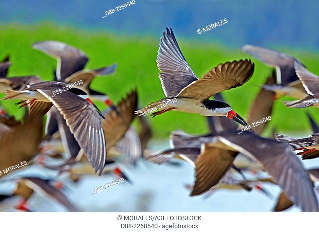 South America Brazil,Amazonas state,Manaus,Amazon river basin,Black Skimmer (Rynchops niger),group in flight