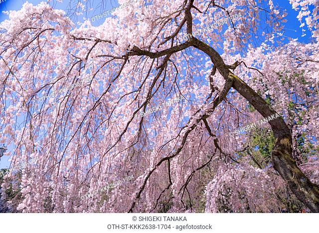 Blooming cherry blossom at former Konoe family's residence, Kyoto Imperial palace, Kyoto, Japan