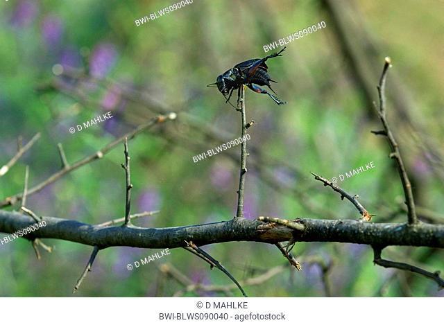 field cricket Gryllus campestris, speared by red-backed shrike, Bulgaria, Eastern Rhodopes
