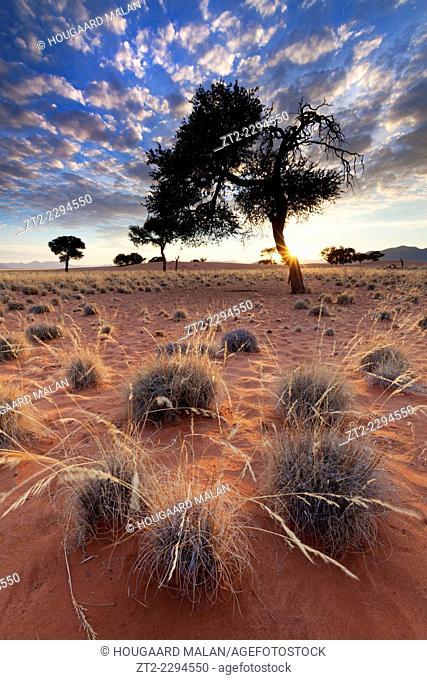 Low angle view of grass knolls below a stunted acacia tree. Namib Rand, Namibia