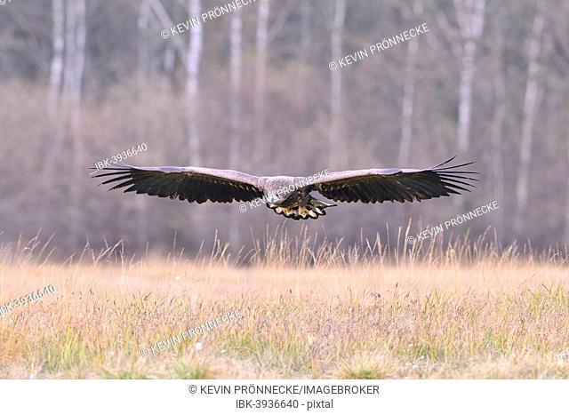 White-tailed Eagle (Haliaeetus albicilla) in flight in an autumn landscape, Kuyavian-Pomeranian Voivodeship, Poland