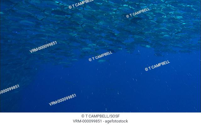 Jacks currently unidentified big shoal stream past camera. Costa Rica