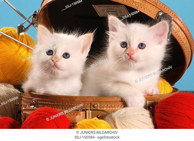 Sacred cat of Burma - two kittens in between wool balls