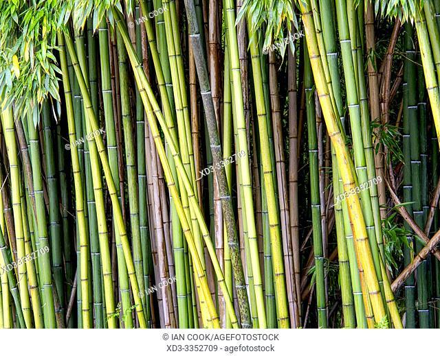 bamboo plantation, Latour-Marliac Garden, Le Temple sur Lot, Lot-et-Garonne Department, Nouvelle Aquitaine, France