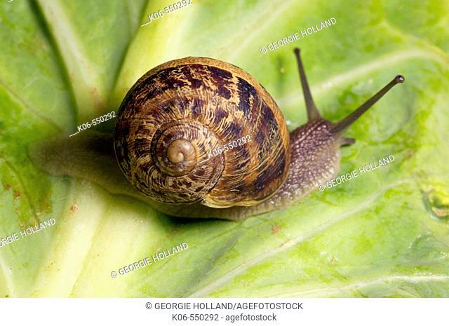Garden snail (Helix aspersa). Britain