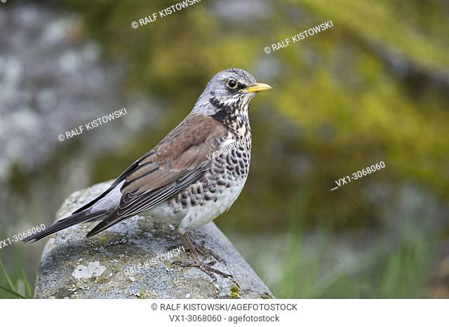 Fieldfare ( Turdus pilaris ), in colourful breeding dress, perched on a rock, close-up, nice colours, side view, wildlife, Europe