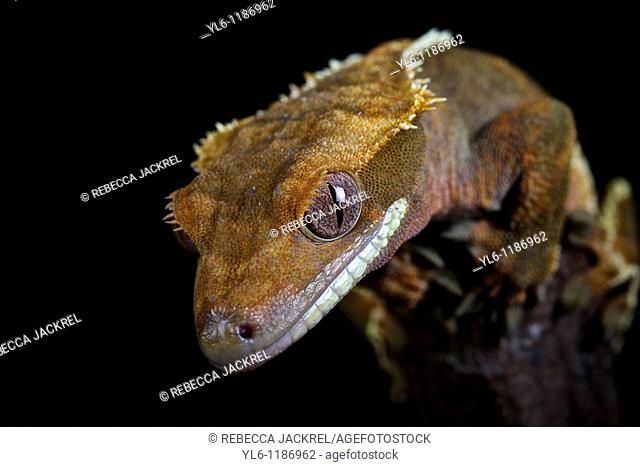 Captive, Private Collection  Crested Gecko