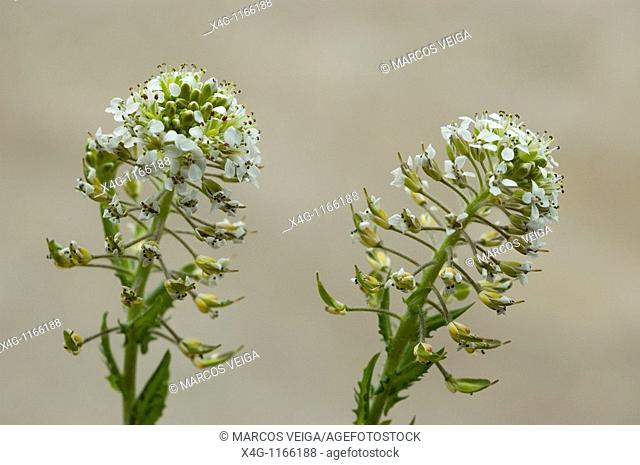 Pepperwort or field pepperweed Lepidium heterophyllum